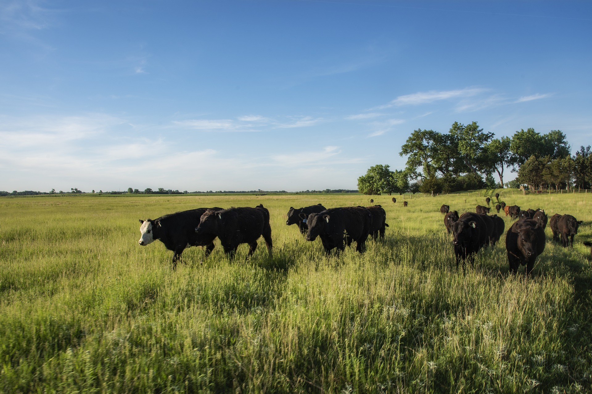 Cows in grass